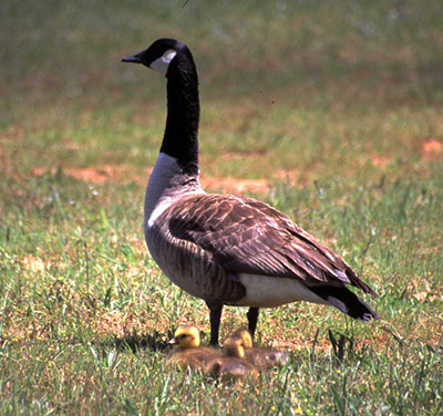 BE PATIENT WITH FLIGHTLESS CANADA GEESE THIS SUMMER