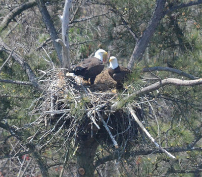 DNR SURVEY SHOWS BALD EAGLES NESTING AT RECORD LEVELS IN STATE