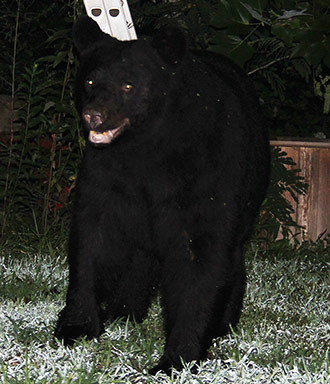 """HELP PREVENT NUISANCE BEAR ISSUES – MAKE """"TEMPTING FOODS"""" UNAVAILABLE"""