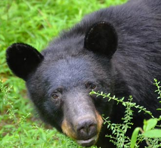 Bear Sightings Spike in the City of Jasper prompts Mitch Yeargin with DNR to speak at City Council Meeting