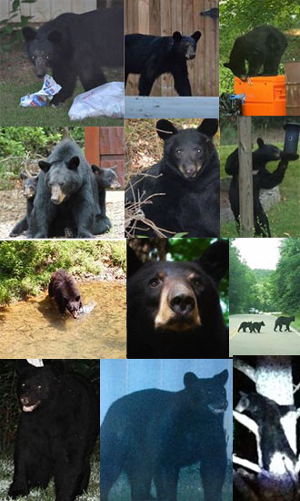 Bears of Pickens County