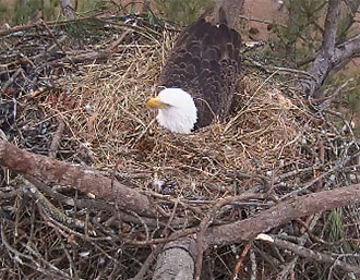 GEORGIA DNR SHARING LIVE STREAM OF BERRY BALD EAGLE NEST