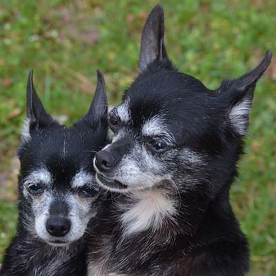 Older Chihuahuas Needing a Forever Home