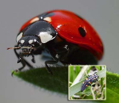 Beneficial Bugs: The Ladybug