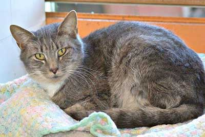 Looking For a Mellow Cat?  Nick is for You!