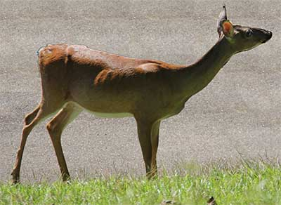 Georgia Drivers Be on the Lookout this Fall: Deer-vehicle collisions increase during breeding season