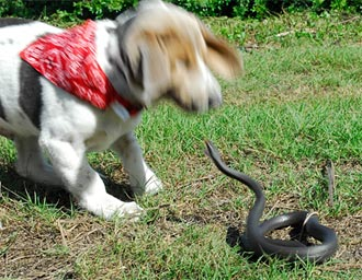 Snake Envenomations to your Pets