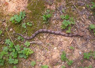 The Copperhead Snake is Often Misidentified